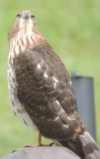 copy-of-hawk