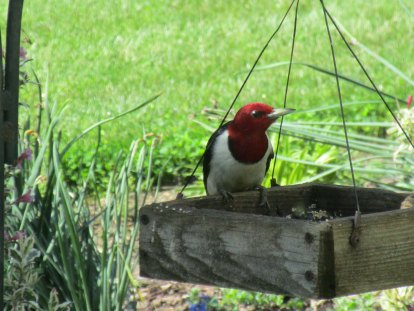 red headed woodpecker good photo