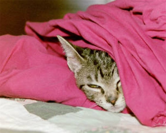 cat under sheets kitten